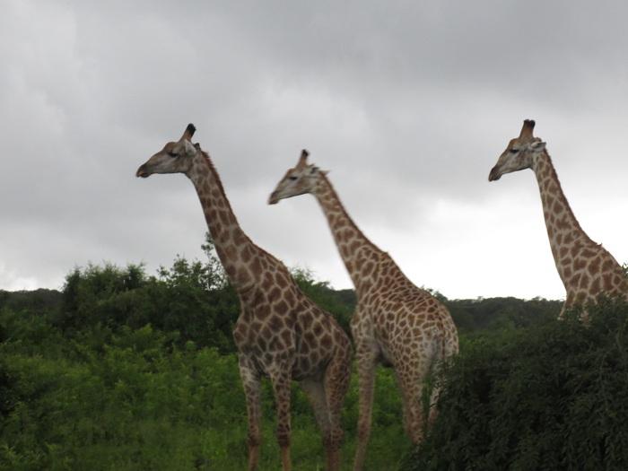Giraffer, riktigt coolt djur att se på nära håll